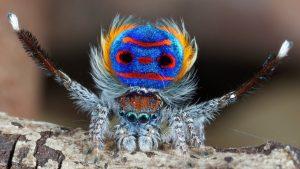 Rare spinnetjes: pauwspin (maratus speciosus)
