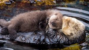 De moederliefde van een zeeotter