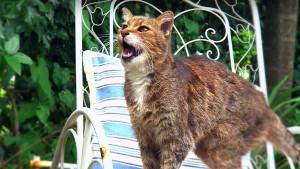 Waarom katten in twee verschillende talen miauwen