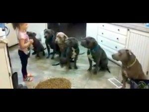 Brave pitbulls!